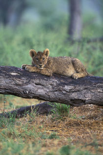 Lion cub (Panthera leo) sits on tree branch after rainstorm along Khwai River by Danita Delimont