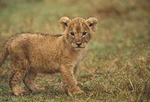 Lion Cub (Panthera Leo) von Danita Delimont