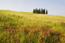 Grouping of Tuscan Cypress Trees In Wheat Field With Fresh Spring Flowers von Danita Delimont