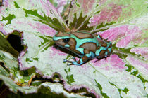 Close-up of a variety of poison dart frog on variegated leaf von Danita Delimont
