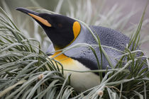 King Penguin (Aptenodytes patagonicus) resting on nest in tussock grass in crowded rookery at Salisbury Plains von Danita Delimont