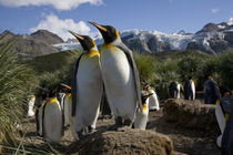King Penguins (Aptenodytes patagonicus) nesting in rookery in tussock grass along coast at Gold Harbour by Danita Delimont