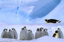 Emperor Penguins and chicks (Aptenodytes forsteri) von Danita Delimont