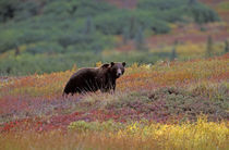 Grizzly bear on Fall tundra by Danita Delimont