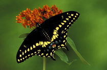 American Eastern Black Swallowtail (Papilio polyxenes) by Danita Delimont