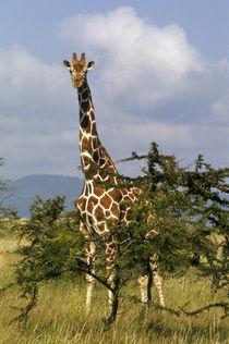 Reticulated giraffe (Giraffa camelopardalis reticulata) by Danita Delimont