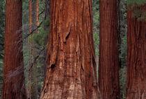 Sequoias von Danita Delimont