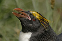 Profile of macaroni penguin head by Danita Delimont