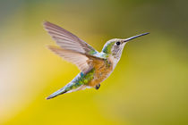 Side view close-up of female rufous hummingbird in flight von Danita Delimont