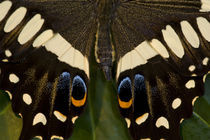 Washington Tropical Butterfly Photograph of Papilio ophidicephalus the Emperor Swallowtail from Africa on Orchid von Danita Delimont