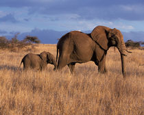 Lewa Downs African Elephant - Loxodonta africana by Danita Delimont