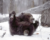 Juvenile grizzly plays with tree branch in winter by Danita Delimont