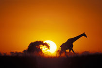 Giraffe (Giraffa camelopardalis) walks past setting sun along banks of Chobe River by Danita Delimont