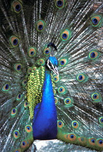 Beautiful peacock spreading colorful feathers by Danita Delimont
