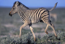 Young Plains Zebra (Equus burchelli) trots through desert at sunset von Danita Delimont