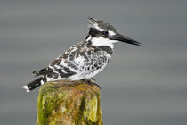 Pied Kingfisher at Lake Naivasha by Danita Delimont