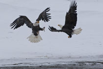 Bald eagles fighting by Danita Delimont