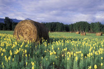 Yellow flowers and freshly rolled bales of hay in a meadow by Danita Delimont