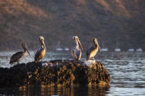 Brown pelicans on rock in Puerto Escondido near Loreto Mexico von Danita Delimont