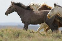 Wild horses running von Danita Delimont
