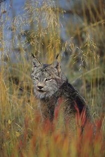 Canadian Lynx (Felis lynx) von Danita Delimont