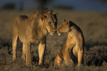 Mating pair of Lion and Lioness (Panthera leo) together in morning sun by Danita Delimont