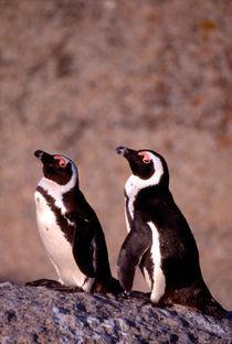 Jackass Penguins (Phalacrocorax capensis) on the rocks von Danita Delimont