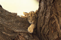 Lion cub in tree (Panthera leo) von Danita Delimont