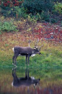 Caribou (Rangifer tarandus) by Danita Delimont