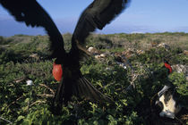 Magnificent Frigatebird (Fregata magnificens) in nesting area on North Seymour Island by Danita Delimont