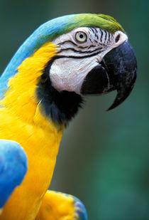 Blue & Yellow Macaw (Ara ararauna) by Danita Delimont