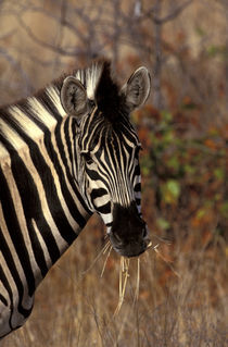Kruger NP Zebra portrait von Danita Delimont