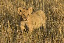 A lion cub laying in the bush in the Maasai Mara Kenya by Danita Delimont