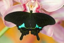 Washington Tropical Butterfly Photograph of Swallowtail Papilio paris the Peacock Swallowtail butterfly from China on Orchids von Danita Delimont