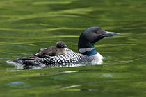 Common Loon (Gavia immer) swimming with chick on back von Danita Delimont