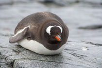 Gentoo penguin (wild: Pygoscelis papua) von Danita Delimont