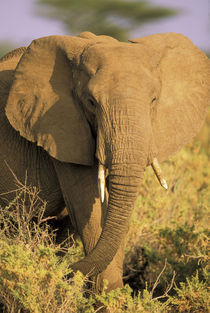 Or loxodonta africana by Danita Delimont