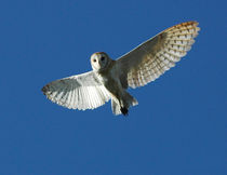Barn Owl in Daytime Flight by Danita Delimont