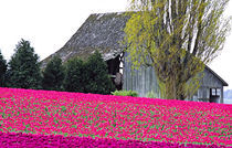 Tulip field and barn by Danita Delimont