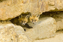 Curious red fox kits peer out from rock haven von Danita Delimont