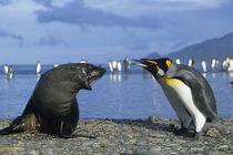 King Penguins (Aptenodytes patagonicus) & Antarctic Fur Seal (Arctocephalus gazella) von Danita Delimont