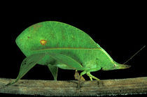 Family Tettigoniidae von Danita Delimont