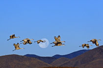 Sandhill cranes (Grus canadensis) flying past a setting full moon von Danita Delimont
