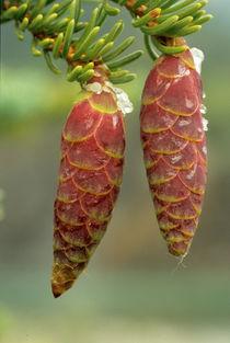 Black Spruce Cones von Danita Delimont