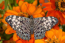 Sammamish Washington Tropical Butterflies photograph of Hamadryas feronia the Grey Cracker Butterfly on Orange Zinnia von Danita Delimont