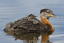 Red-necked Grebe (Podiceps grisegena) with two chicks on its back by Danita Delimont