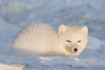 Rests in the snow along the arctic coast von Danita Delimont