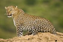 African Leopard (Panthera pardus) by Danita Delimont