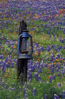 Blue Lantern and field of bluebonnets by Danita Delimont