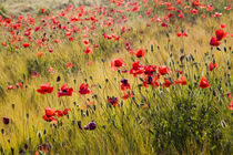 Poppies in Spring Wheat Field by Danita Delimont